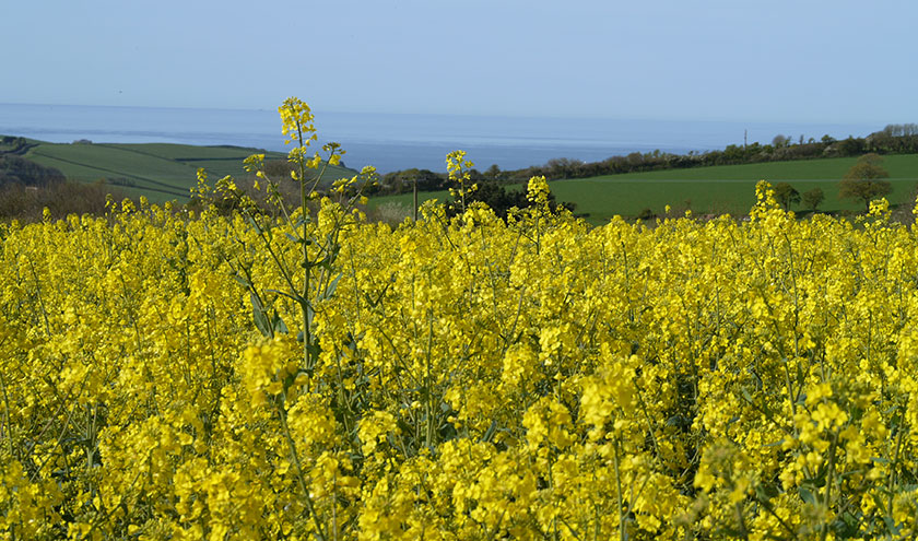 Devon Rapeseed Oil